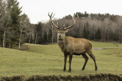 A grazing wapiti in a forest. Environment Stock Photography