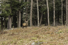 A grazing wapiti in a forest. Environment Royalty Free Stock Photos