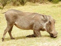 Grazing warthog Stock Photo