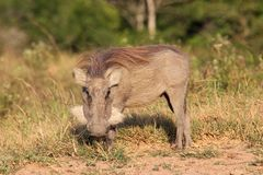 Grazing Warthog Royalty Free Stock Image
