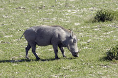 Grazing warthog Stock Images