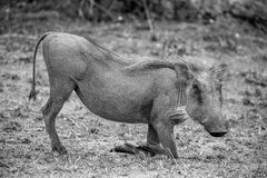 Grazing Warthog. A Warthog kneeling as they do when they eat Stock Photography