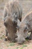 Grazing warthogs Stock Image