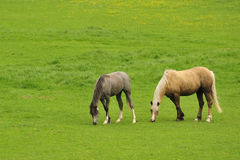 Grazing, Welsh mountain Ponies Stock Photography