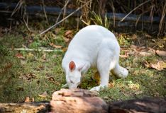 Albino wallaby. Grazing white albino kangaroo Red necked Wallaby Stock Photos