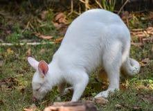 Albino wallaby. Grazing white albino kangaroo Red necked Wallaby Stock Photography