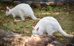 Albino wallaby. Grazing white albino kangaroo Red necked Wallaby Royalty Free Stock Photos