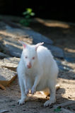 Grazing white albino kangaroo Red necked Wallaby Royalty Free Stock Images