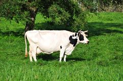Grazing white-and-black cow Stock Photos