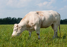 Grazing white cow. White cow grazing in a meadow in Dutch National Park De BIesbosch Royalty Free Stock Photos