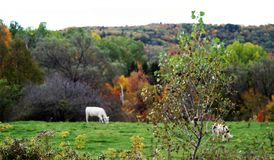 White cows grazing with autumn landscape royalty free stock image