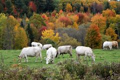 White cows grazing with autumn landscape royalty free stock images