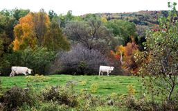 White cows grazing with autumn landscape stock images
