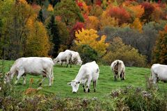 White cows grazing with autumn landscape royalty free stock photos