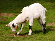 Grazing white dwarf goat Stock Photos