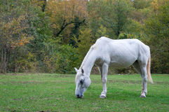 Grazing white horse royalty free stock photography