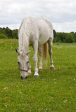 Grazing white horse. White horse grazing on a green field in summer stock photography