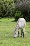 Grazing white horse Royalty Free Stock Photo