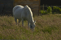 Grazing white horse Royalty Free Stock Image