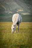 Grazing white horse at Piano Grande, Umbria, Italy Stock Photos