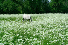 Grazing in white meadow. A white horse grazing in a white flowering meadow Royalty Free Stock Images