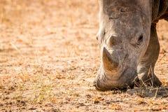 Grazing White rhino. Stock Photography