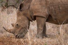 Grazing White rhino. Royalty Free Stock Photography