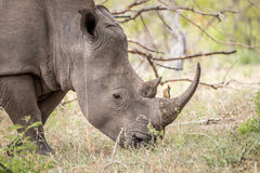 Grazing White rhino with a Red-billed oxpecker. stock photo