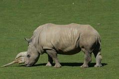 Grazing White Rhino. White rhino grazing Stock Image