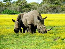Grazing white rhinos. White rhinos graze in a South African game park stock images