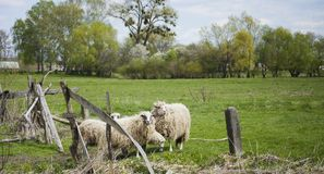 Grazing white sheep with black spots on eyes. Grazing white sheep with black spots on their eyes. Herd of sheep on green meadow Stock Photography