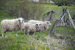 Grazing white sheep with black spots on eyes. Grazing white sheep with black spots on their eyes. Herd of sheep on green meadow Stock Image