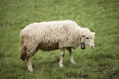 Grazing white sheep Royalty Free Stock Images