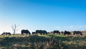 Grazing wild horses in backlight Royalty Free Stock Photo