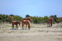 Grazing Wild Horses Stock Photography