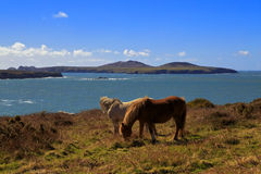 Grazing Wild Horses, Ramsey Island, Ynys Dewi and the Pembroke Coast Royalty Free Stock Photo