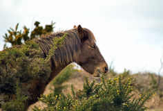 Grazing wild Pony Royalty Free Stock Photo
