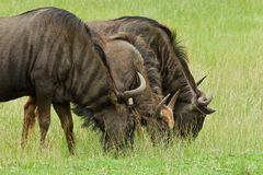 Grazing wildebeest Stock Photo
