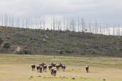 Grazing wildebeest Royalty Free Stock Photo