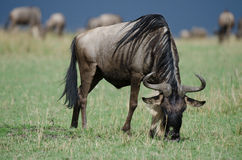 A grazing wildebeest. On the African plains of the Masai Mara Royalty Free Stock Image