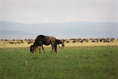 Grazing wildebeest Stock Photos