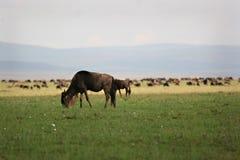 Grazing wildebeest Stock Photos