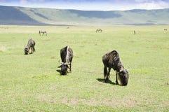 Grazing Wildebeests Royalty Free Stock Image