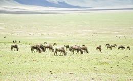 Grazing Wildebeests at the Ngorongoro Royalty Free Stock Photography