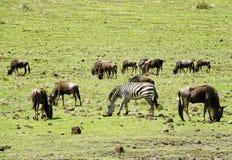 Grazing Wildebeests and  Zebra Stock Images