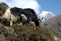 Grazing yak. Mt Everest base camp trek, Nepal Royalty Free Stock Photography