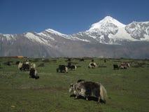 Grazing yak herd and Dhaulagiri Royalty Free Stock Photography