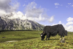 Grazing Yak in the Mountains Stock Photography