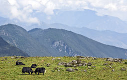 Grazing Yak in the Mountains Royalty Free Stock Image