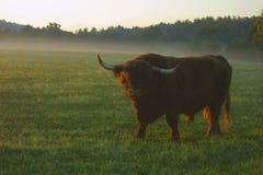 Yak bull at sunrise Royalty Free Stock Photography